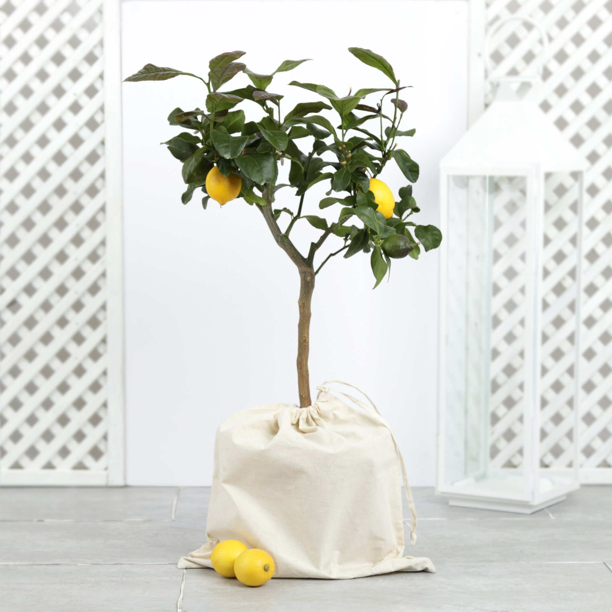 The Outdoor Lemon Tree Flower Delivery - 5 Day Freshness Guarantee By Moonpig