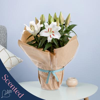 The Gift Wrapped White Lily Plant