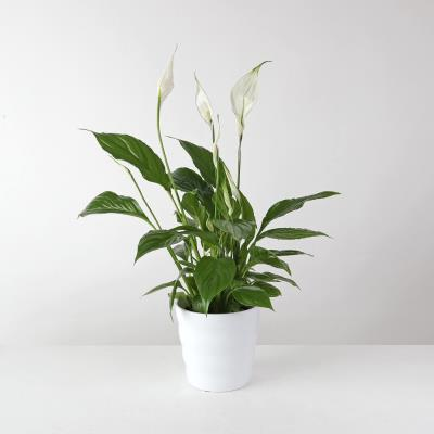The White Peace Lily Planter