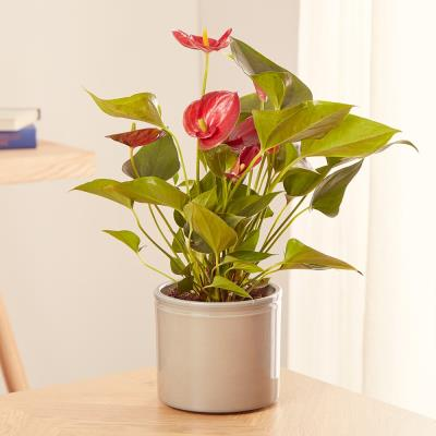 The Red Anthurium Plant