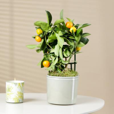 The Miniature Orange Tree
