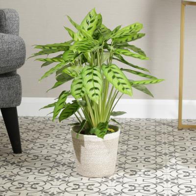 The Calathea Plant