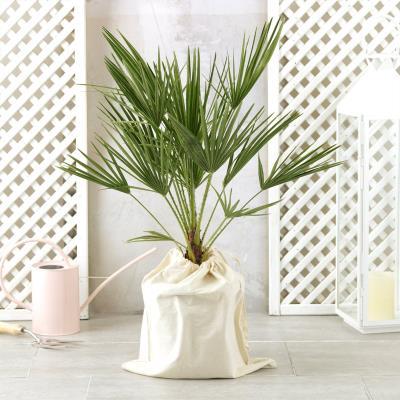 The Outdoor Chamaerops Humilis Palm