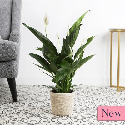 The Large Peace Lily Plant