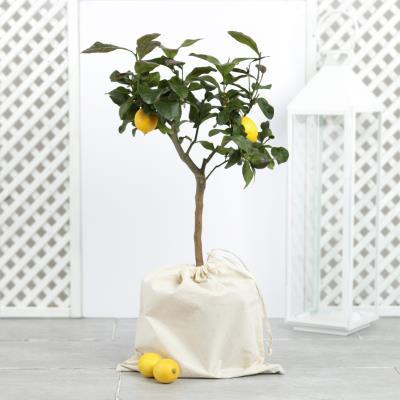 The Outdoor Lemon Tree