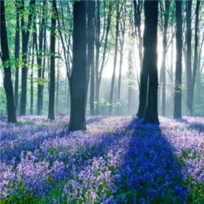 Photographic Woodland Bluebells Just a Note Card