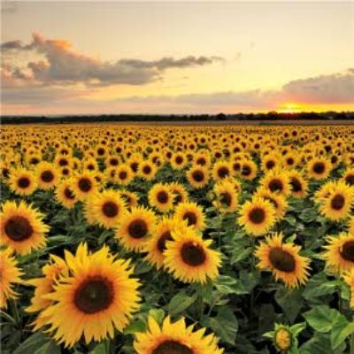 Photographic Field of Sunflowers Just a Note Card