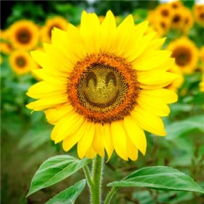 Photographic Sunflower Happy Face Just a Note Card