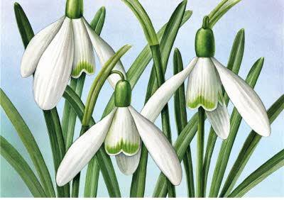 Royal Mail Art Greetings card - Snowdrop flower