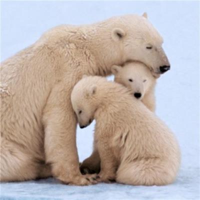 3 Polar Bears Cute Family Just a Note Card