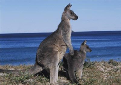 Kangaroo With Joey On Beach Personalised Greetings Card