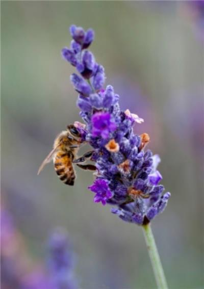 Photo Of Bee On Lavender Floral Card