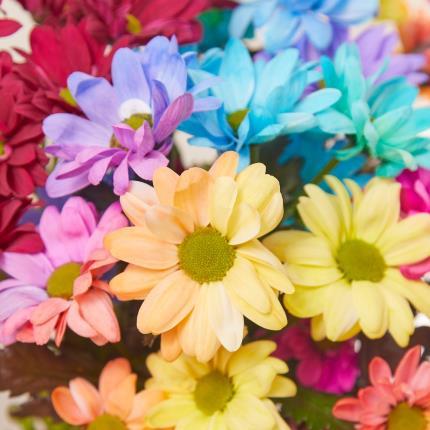 Flowers - The Rainbow Chrysanthemums - Image 4