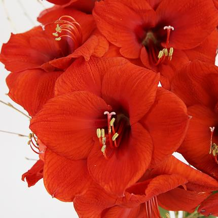Flowers - The Amaryllis Vase - Image 3