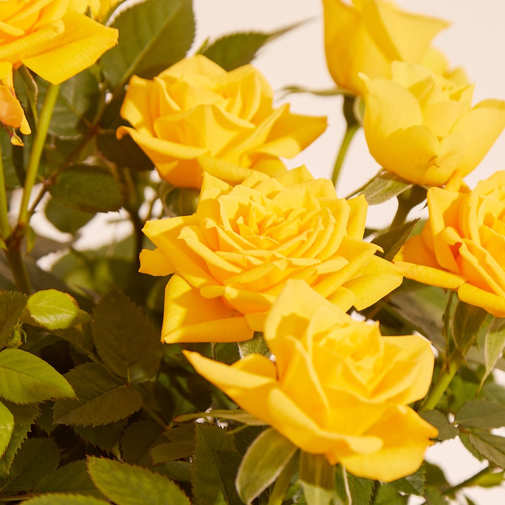 Flowers - The Yellow Rose Duo - Image 3