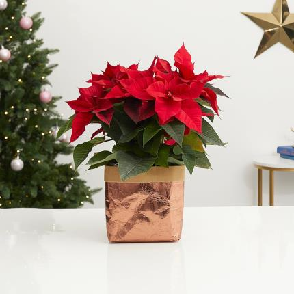 Flowers - The Christmas Poinsettia - Image 2