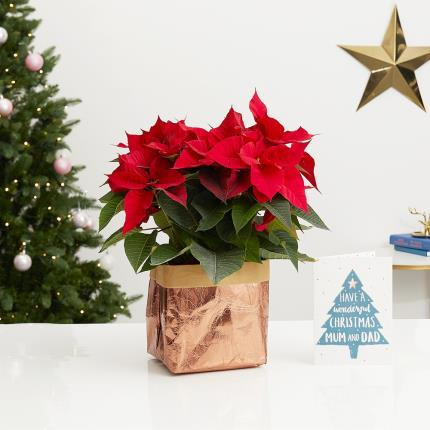 Flowers - The Christmas Poinsettia - Image 3
