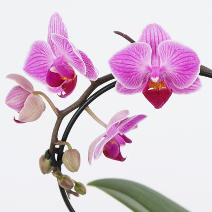 Flowers - The Orchid Heart - Image 4