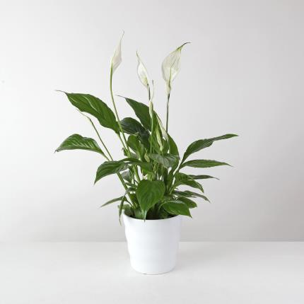 Flowers - The White Peace Lily Planter - Image 2
