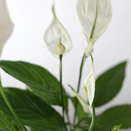 Flowers - The White Peace Lily Planter - Image 3