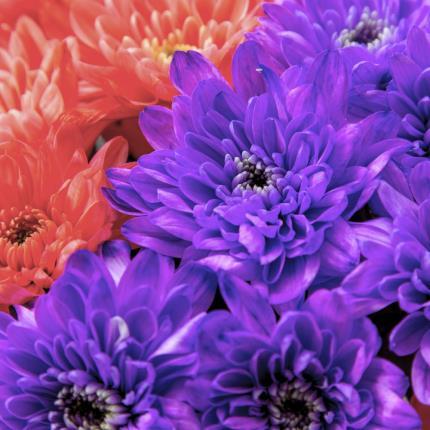 Plants - Dyed Chrysanthemum Blooms - Image 3