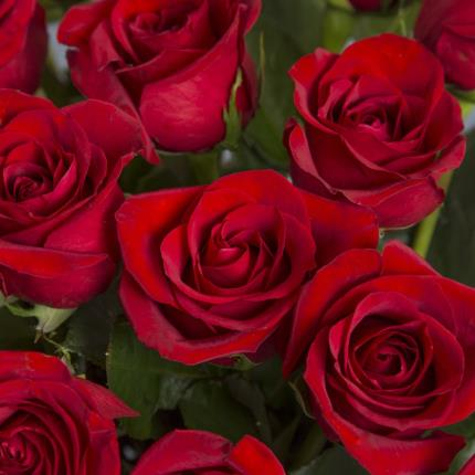Plants - 24 Luxury Freedom Roses- Was £65, Now £50 - Image 3