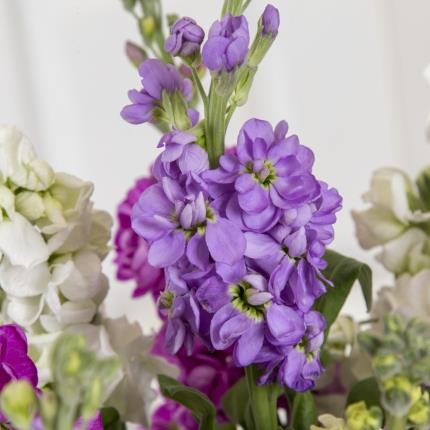 Plants - British Scented Stocks in Vase - Image 3