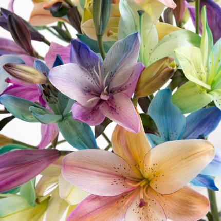Plants - The Grand Rainbow Lilies   - Image 3