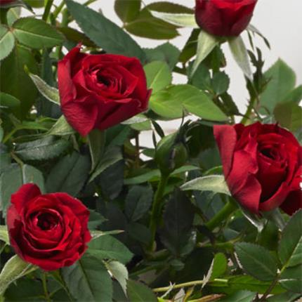 Plants - Rose & Red Wine Gift Basket - Image 3
