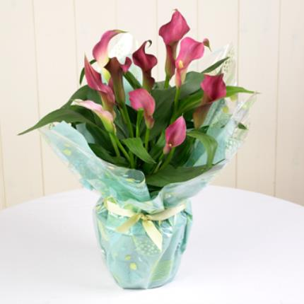 Plants - Gift Wrap Calla Lily - Image 2