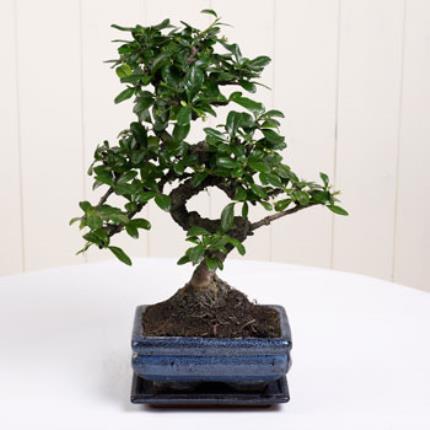 Plants - Father's Day Bonsai - Image 2