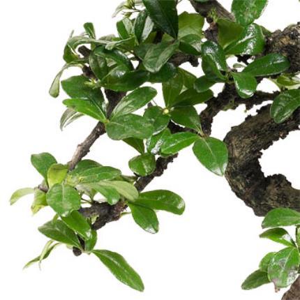 Plants - Father's Day Bonsai - Image 3