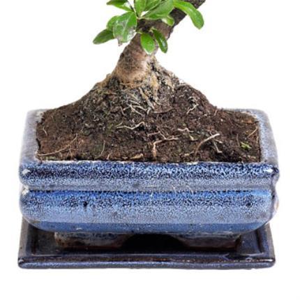 Plants - Father's Day Bonsai - Image 4