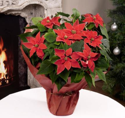 Plants - Christmas Poinsettia Gift Wrap - Image 2