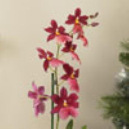 Plants - Cambria Orchid - Image 4