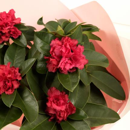 Plants - Gift-wrapped Rhododendron - Image 3