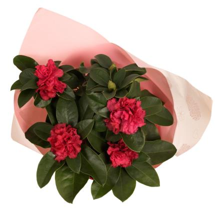 Plants - Gift-wrapped Rhododendron - Image 4