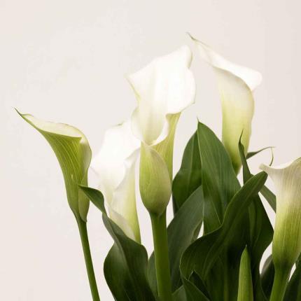 Plants - Calla Lily Gift Bag - Image 3