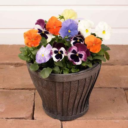 Plants - Winter Outdoor Pansy Planter - Image 2