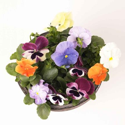 Plants - Winter Outdoor Pansy Planter - Image 3