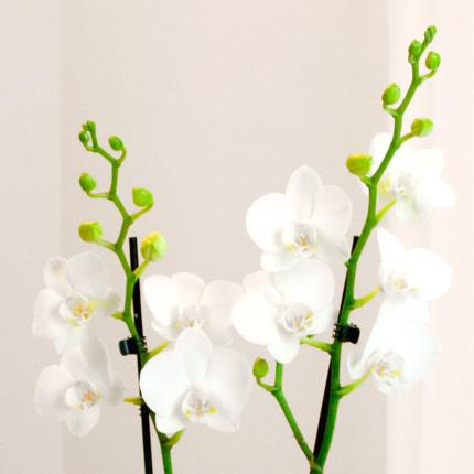 Plants - Luxury Orchid Gift Bag - Image 3
