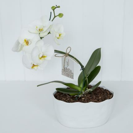 Plants - Mother's Day Spiral Orchid - Image 2