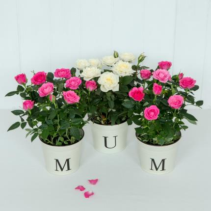 Plants - Mum Rose Pots - Image 2