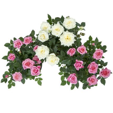 Plants - Mum Rose Pots - Image 3