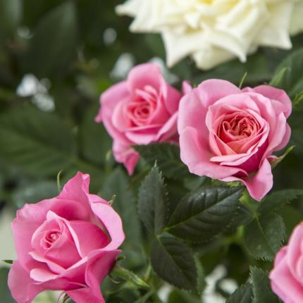 Plants - Mum Rose Pots - Image 4