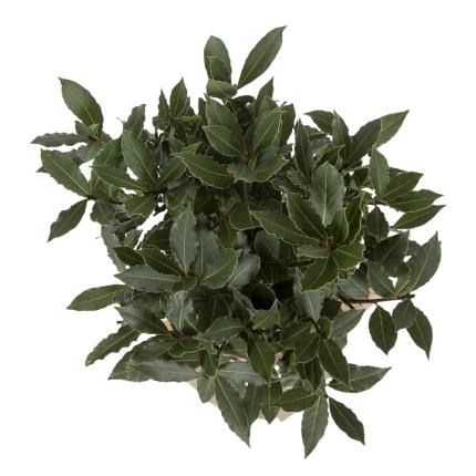 Plants - Standard Bay Tree - Image 3