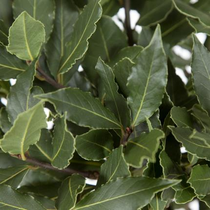 Plants - Standard Bay Tree - Image 4