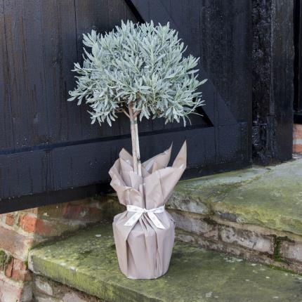 Plants - Standard Lavender Tree - Image 2