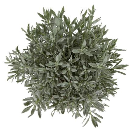 Plants - Standard Lavender Tree - Image 3