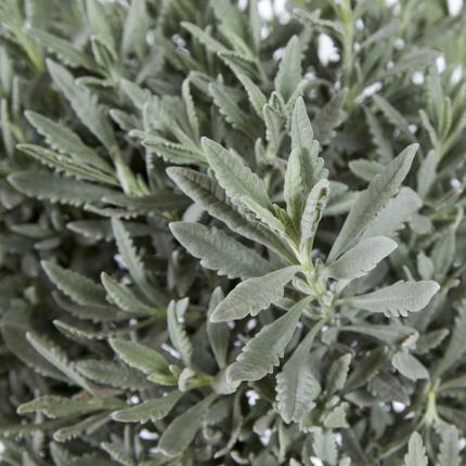 Plants - Standard Lavender Tree - Image 4